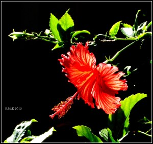 Hibiscus_1
