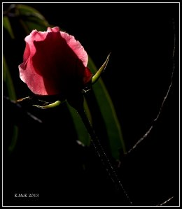 my rose_1