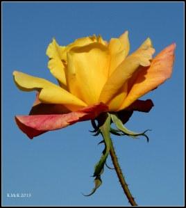 rose_12
