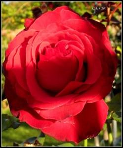 rose_5