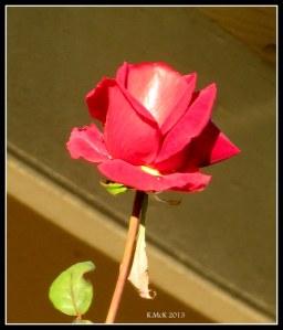 rose_6