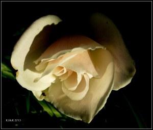 rose_9
