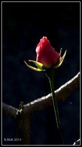 rosebud_1