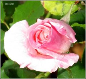 west perth rose_1
