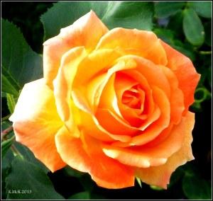 west perth_rose_3