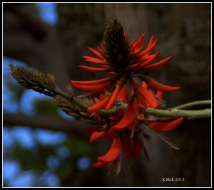 flame tree flowers_2