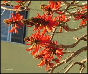flame tree_10