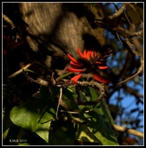 flame tree_1