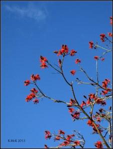 flame tree_13