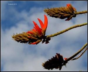 flame tree_2