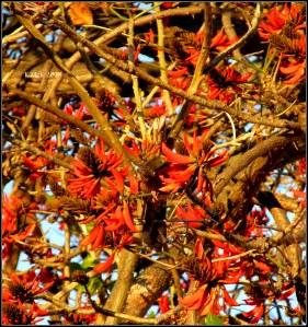 flame tree_7
