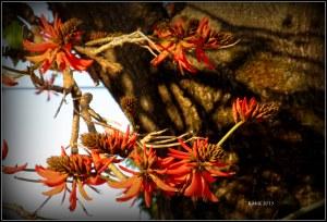 flame tree_9