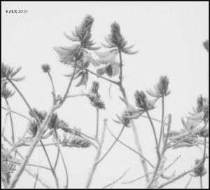 flame tree_black and white