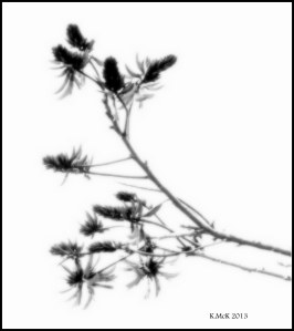 flame tree_black and white_3