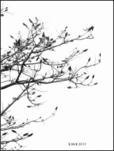 flame tree_black and white_5