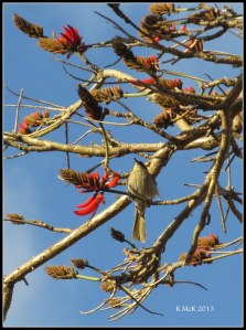 flame tree_honey eater_2