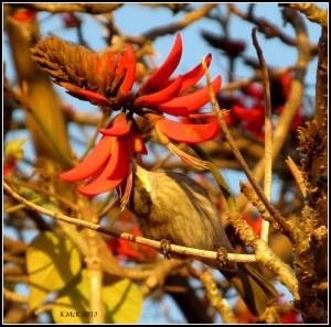 flame tree_honeyeater_21