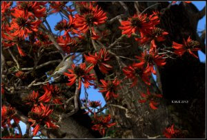 flame tree_honeyeater_6