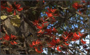 flame tree_new holland_1