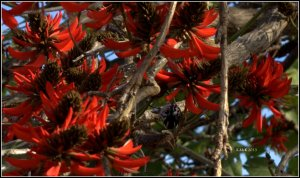 flame tree_new holland_2