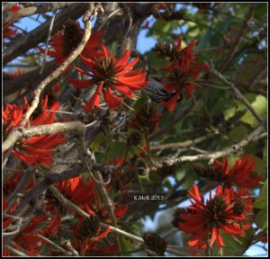 flame tree_new holland_3