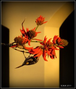 flame tree_new holland_4