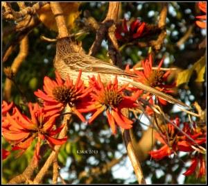flame tree_wattle bird_1