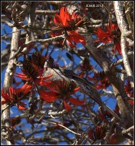 flame tree_wattle bird_10