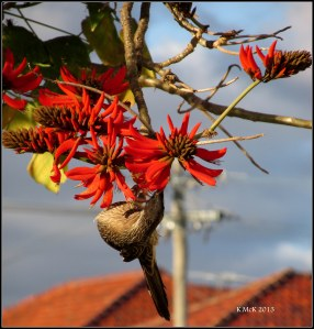 flame tree_wattle bird_11