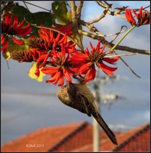 flame tree_wattle bird_12