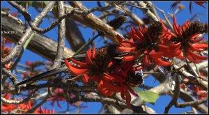 flame tree_wattle bird_13