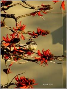 flame tree_wattle bird_14
