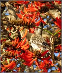 flame tree_wattle bird_15