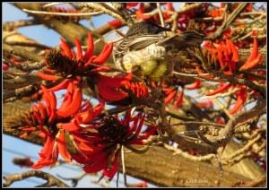 flame tree_wattle bird_16
