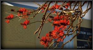 flame tree_wattle bird_17