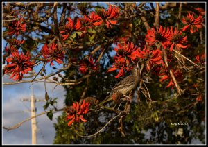 flame tree_wattle bird_18