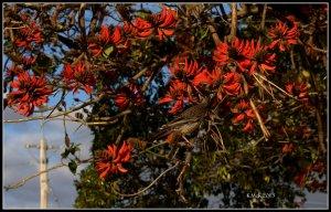 flame tree_wattle bird_19