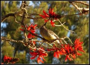 flame tree_wattle bird_20