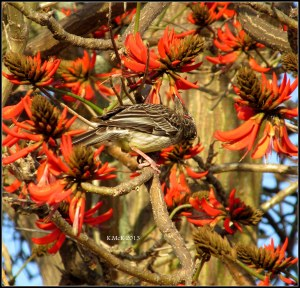 flame tree_wattle bird_21