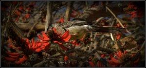 flame tree_wattle bird_2