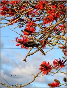 flame tree_wattle bird_22