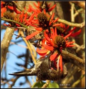 flame tree_wattle bird_23