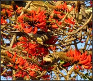 flame tree_wattle bird_24