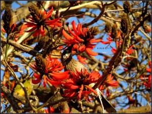 flame tree_wattle bird_25