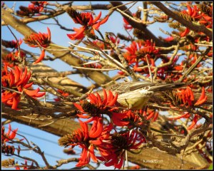 flame tree_wattle bird_26