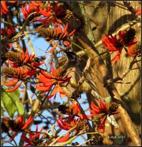 flame tree_wattle bird_27
