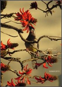 flame tree_wattle bird_30