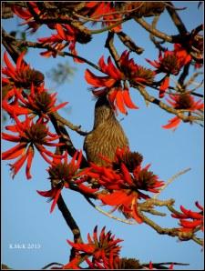 flame tree_wattle bird_33