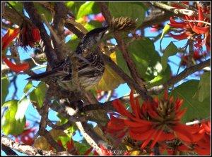flame tree_wattle bird_3