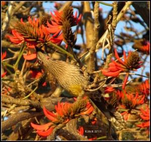 flame tree_wattle bird_4